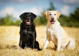 Hunderasse Labrador
