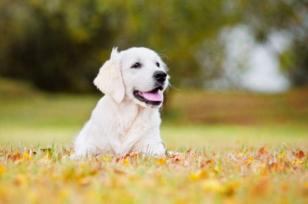 Grundimmunisierung Impfung Labrador Welpenalter