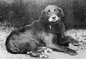 Labrador Avon