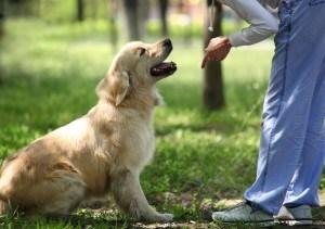 Labrador Kommandos erlernen
