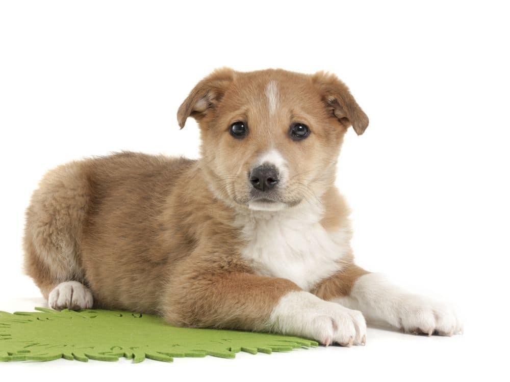 Labrador Mix Welpen
