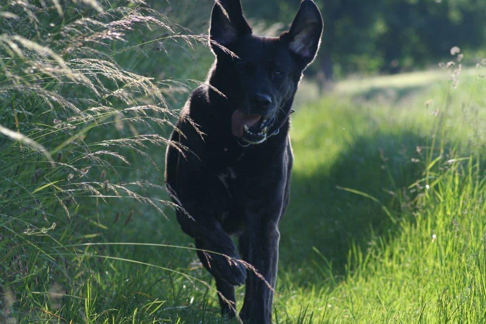 Labrador Mix Mischling