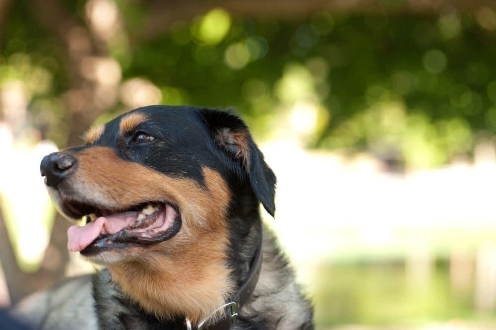 Labrador Rottweiler Mischling