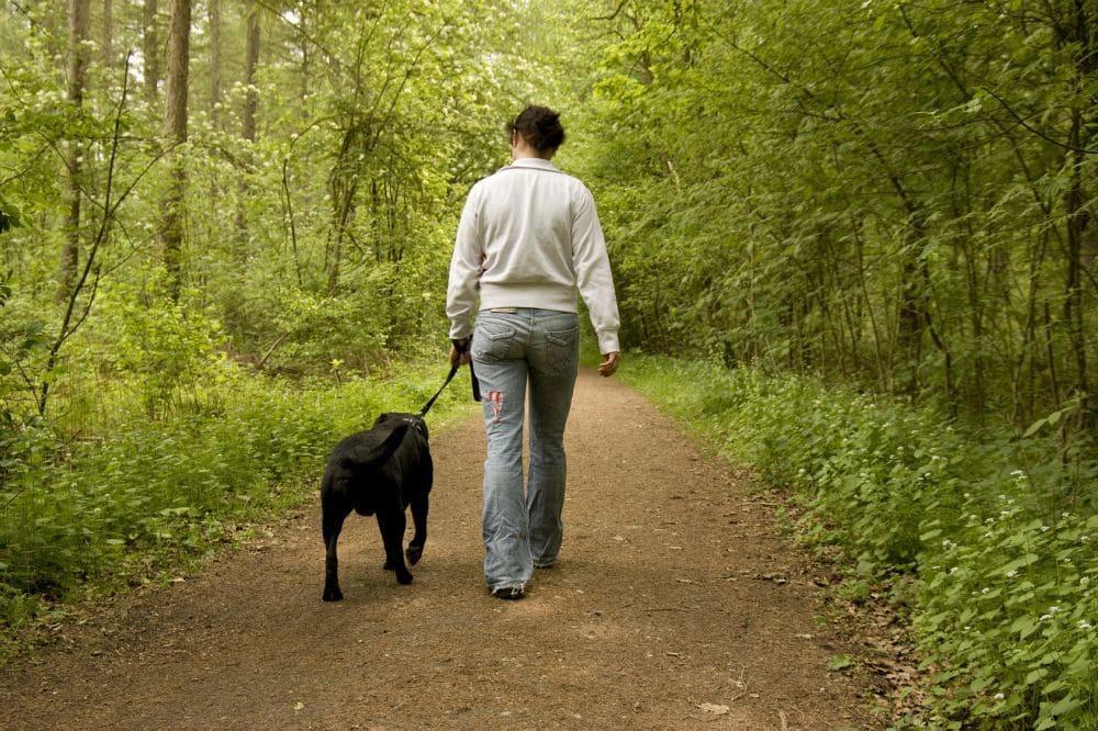 Spaziergang mit Labrador