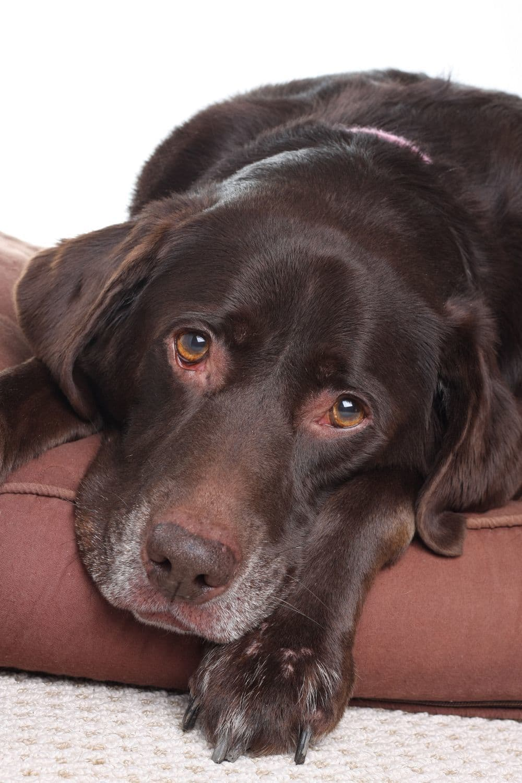 Labrador in Not