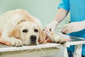 Wann muss mein Labrador zum Tierarzt?