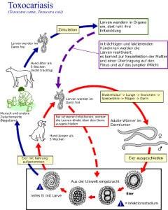Labrador - Wurmbefall - Würmer