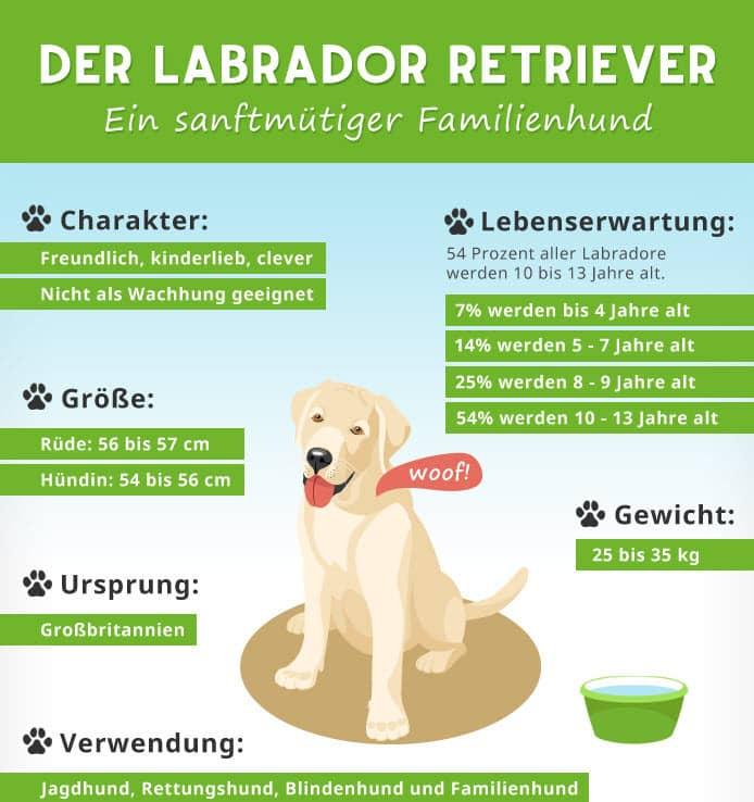 Infografik Labrador Retriever