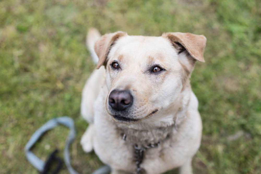 golden retriever mischling schäferhund