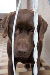 Labrador Tierheim Not