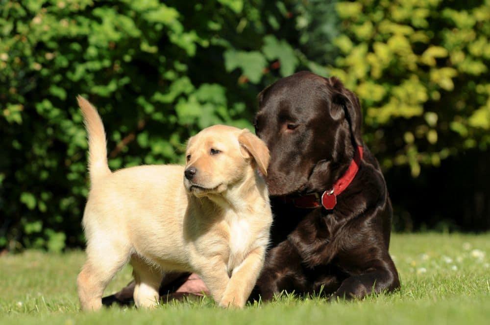 Labrador Welpe mit Muttertier