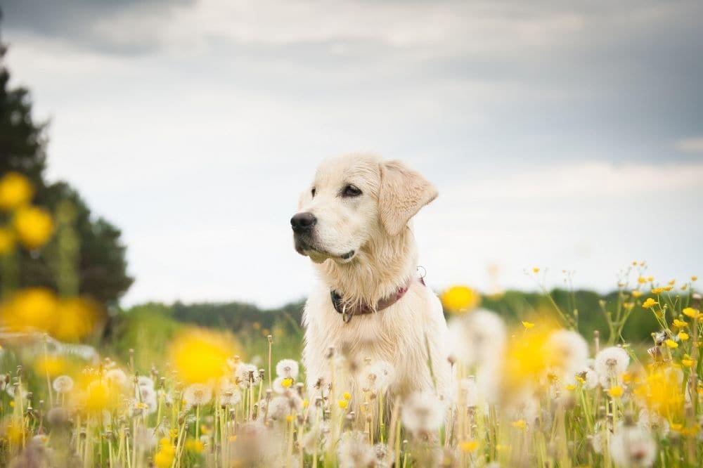 Labrador Lebenserwartung - Wie alt wird mein Labrador?