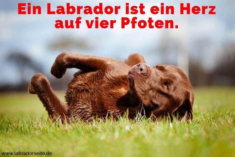Ein Labrador liegt aud dem Rasen