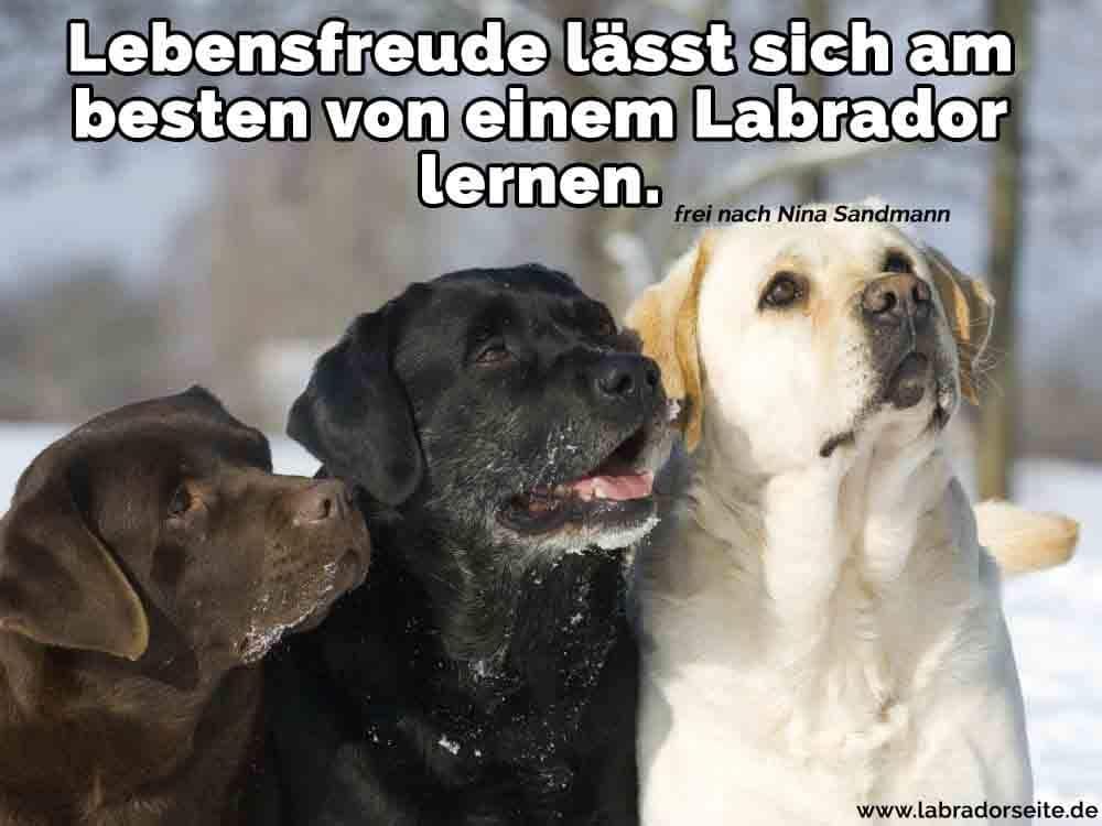 Drei neugierige Labradore