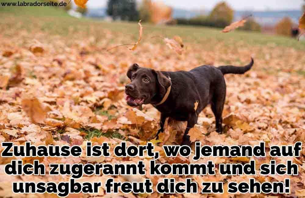 Ein Labrador geht auf Herbstlaub