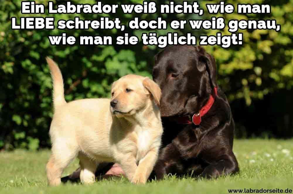 Zwei Labradore auf dem Rasen