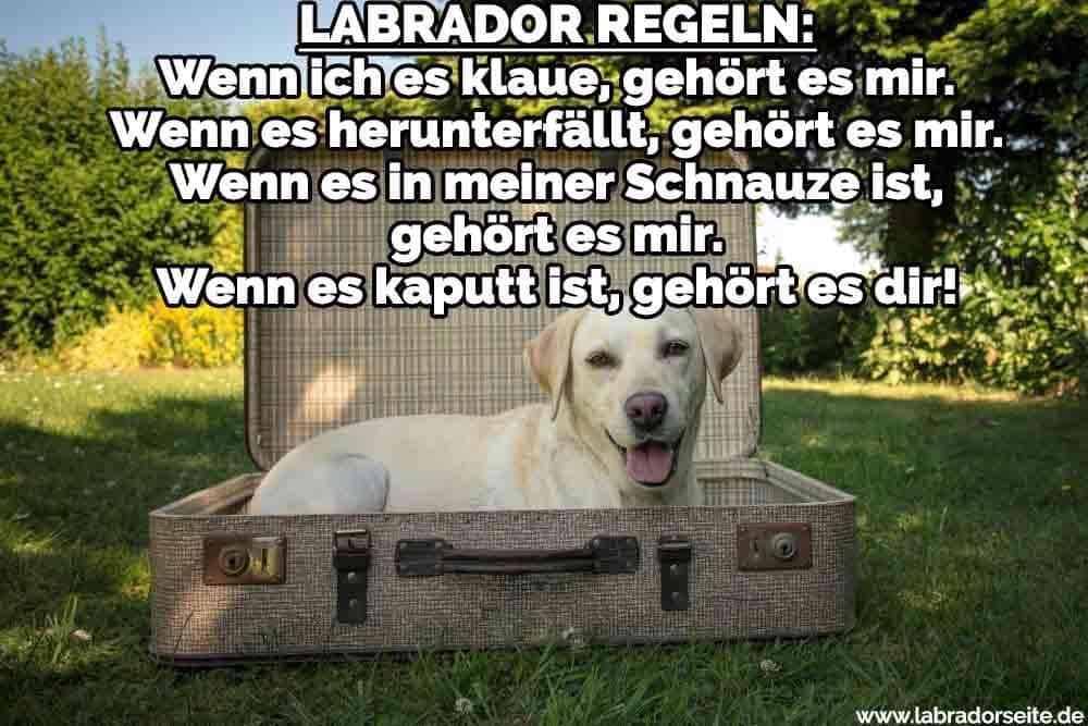 Ein Labrador im Koffer