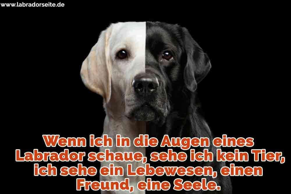 Ein schwarzer Labrador und ein weißer Labrador