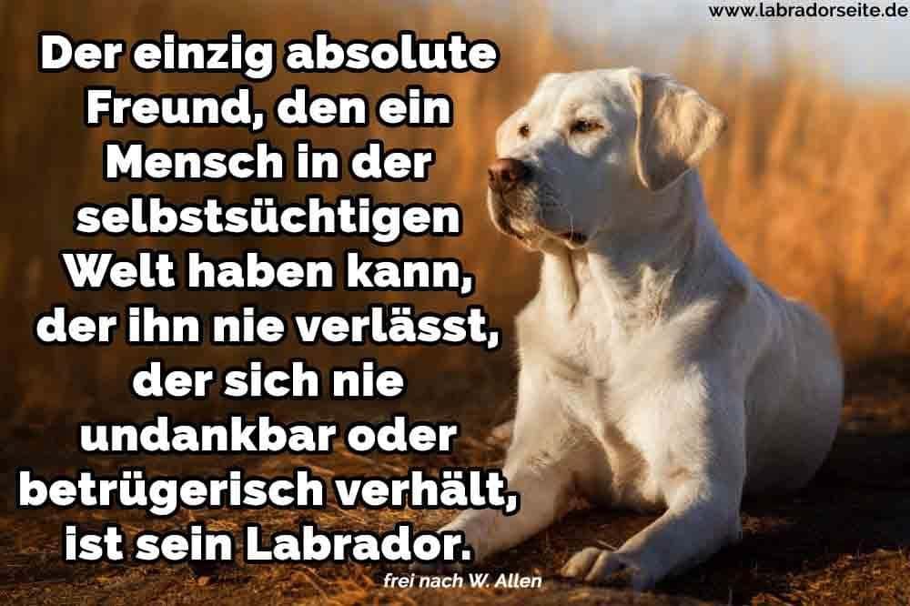 Ein Labrador in Feld