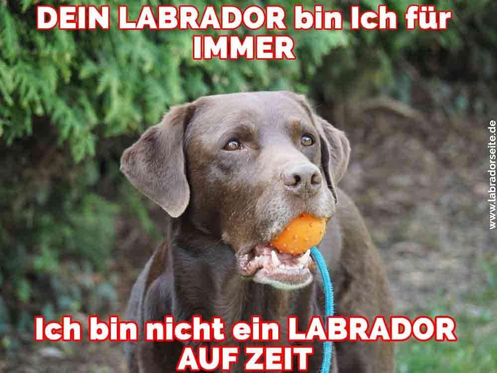 Ein Labrador mit einer Orange in den Mund
