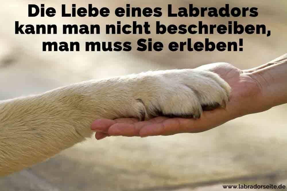 Eines Labrador Pfote