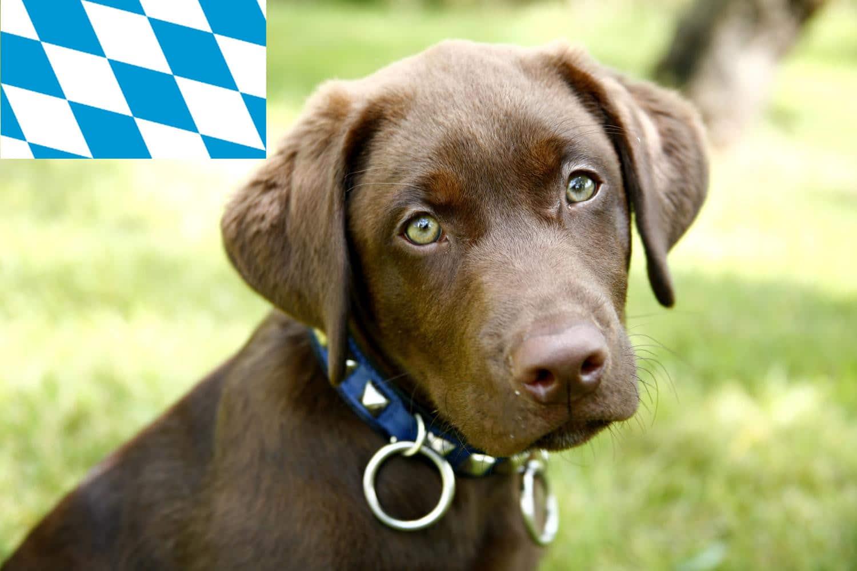 Labrador Züchter und Welpen in Bayern
