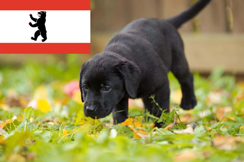 Labrador Züchter und Welpen in Berlin