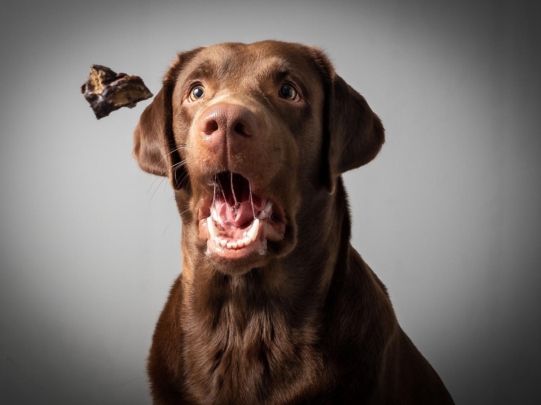 Kostenlose Futterproben für den Labrador