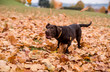 Chocolate Labrador Retriever Playing with Autumn Leaves in Park
