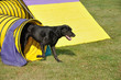 Black Labrador Retriever Leaving Yellow Agility Tunnel