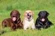 Three Labrador Retriever dogs