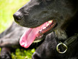 schwarzer Hund, close-up, Maul un Nase Detail,15, Labrador Misch