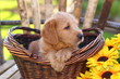 Adorable Poodle Mix Puppy Sitting in Basket with Sunflowers